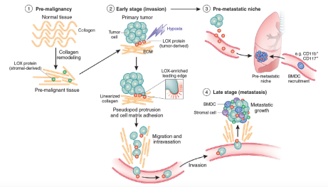 The role of LOX in tumor progression.