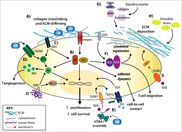 Extracellular_Matrix_Governs_Kinase_Signalling