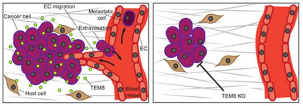 Tumor endothelial marker 8 promotes cancer progression and metastasis