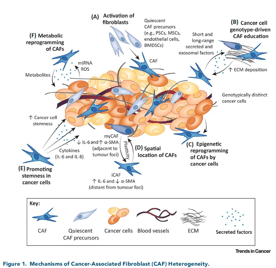 Mechanisms of CAF Heterogeneity